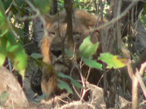 Real wild asian lion in gir forest gujarat